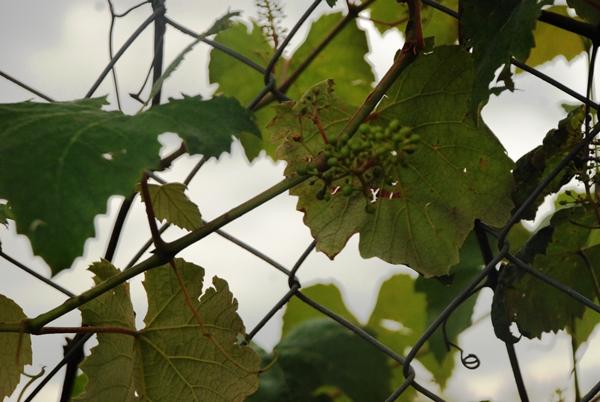 No início, moradores da Colônia Mergulhão produziam vinhos e produtos coloniais e vendiam na porta de casa