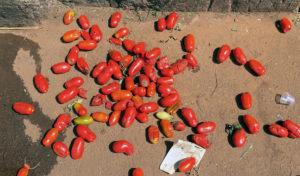 Tomates rasteiros são descartados na Ceasa de Curitiba (Foto: Mariana Balan)